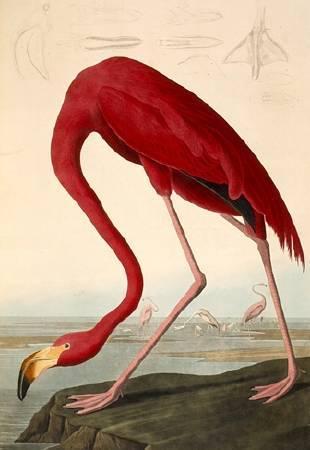 奧杜邦「美國火鶴」。圖取自Wikipedia。