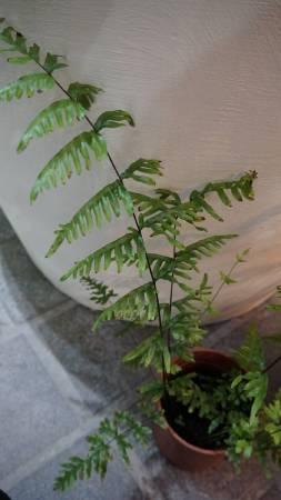 入作品植物-半邊羽裂鳳尾蕨