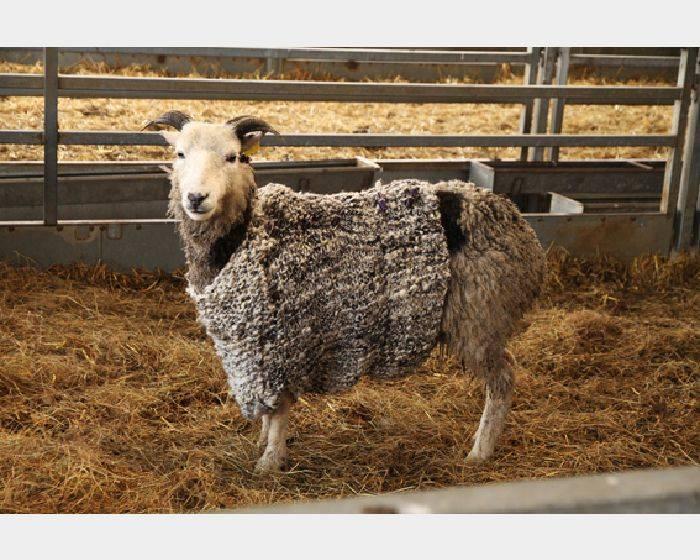 為一隻被我剃了毛的羊編織一件羊毛衫 Knitting the woolen jumper for the sheep I sheared