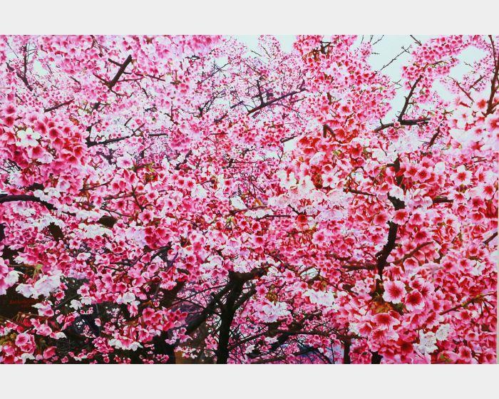 林嶺森-三色櫻