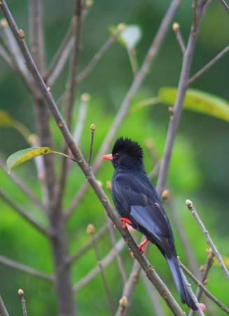 布農族聖鳥紅嘴黑鵯,在平地也很常見。圖/ 維基百科。