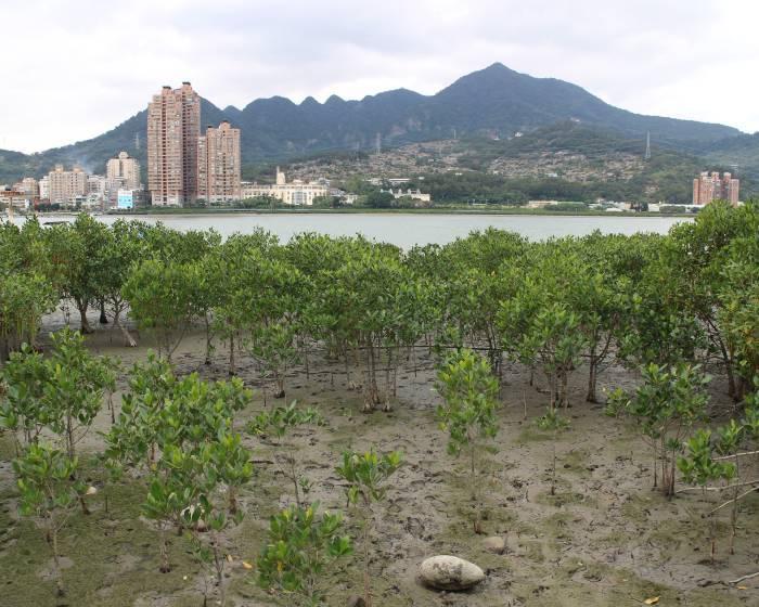 竹圍工作室【走讀淡水河濕地】樹梅坑溪與紅樹林